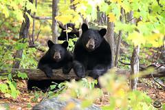 Motherhood (Megan Lorenz) Tags: blackbear bear sow female cub bearcub babyanimals animal mammal nature wildlife wild wildanimals ontario canada mlorenz meganlorenz