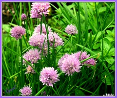 A Peek in the Herb Garden (Lynn English- out enjoying the weather) Tags: chives flowers green lavender garden