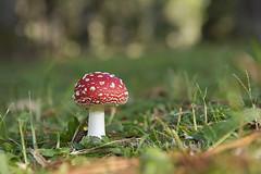 ATU_2873_Cogumelo_LR (Ana Taemi) Tags: camposdojordão serradamantiqueira hortoflorestal parqueestadualdecamposdojordão natureza cogumelo mushroom