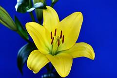 """""""Let's Stick Together"""" (Pensive glance) Tags: lily lilium lys fleurdelys flower fleur plant plante"""