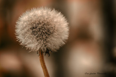 Dandelion Seed Head (IAN GARDNER PHOTOGRAPHY) Tags: dandelion seedhead fairies plant weed dentdelion taraxacumofficianale nature flora