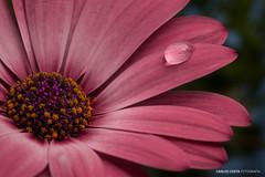 Flower (carloscosta77) Tags: flower water drop droplet simple macro closeup