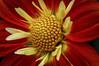 Dahlia (Foulridge_Photography) Tags: dahlia flower floral yellow red nikon d5000 sigma