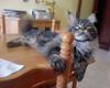 Maine coon Baloo (romeosilverpersian) Tags: mainecoon cats cat tabbycats pet animalidomestici animals gatti gatto longhaircats