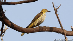 Indian Golden Oriole