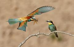 Bijeneter - European Bee-eater - Merops apiaster --4219 (Theo Locher) Tags: europeanbeeeater bijeneter bienenfresser guepierdeurope meropsapiaster birds vogels vogel oiseaux frankrijk france copyrighttheolocher