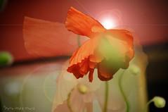 Éclosion d'un Pavot ... ( P-A) Tags: fleur pavotnature printemps végétation couleur parfum arôme espèces types saison visiteurs touristesphotos simpa©
