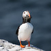 Puffin (Steve C Waddingham) Tags: stevenwaddinghamphotography bird wild wildlife sea fish nature