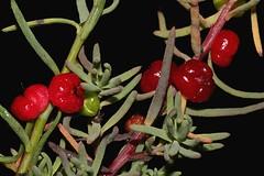 Enchylaena tomentosa (andreas lambrianides) Tags: enchylaenatomentosa chenopodiaceae rubysaltbush enchylaenabrevifolia australianflora australiannativeplants australiannativefruits
