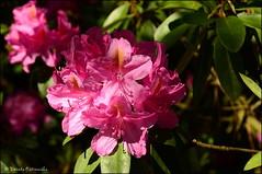 DSC_8802 (facebook.com/DorotaOstrowskaFoto) Tags: ogródbotaniczny kwiaty powsin warszawa