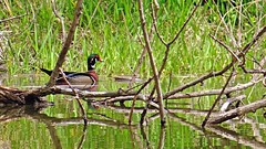 Male Wood Duck on the other side of the pond (GerdaKettner) Tags: cookcountyforestpreserve waterfowl illinoiswilderness illinoiswildlife midwestnature pondlife ducks pond midwestwildlife forestpreserve woodduck