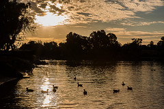 """""""Golden twilight"""" (Malcom Lang) Tags: ducks waterfowl birds sunset twilight golden sky clouds water river pond waves ripples sun star trees branches silhouette night yellow orange canoneos6d canon canon6d canonef2470mm canonef mal lang photography travel"""