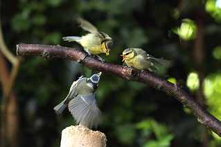 Blue tit and fledgelings.