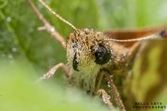Hand held, Mp e-64 twin flash light (Lidy Kerr) Tags: moth closeup orangemoth