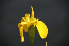 Wild Flower (Hugo von Schreck) Tags: hugovonschreck flower blume blüte macro makro wildflower canoneos5dsr tamron28300mmf3563divcpzda010 fantasticnature wildblume