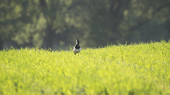 Lapwing (GreenLena) Tags: lapwing meadow flicker light grass bird