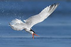 Come back here! (bmse) Tags: elegant tern bolsa chica fish fishing toss bmse salah baazizi wingsinmotion canon 7d 400mm f56 l