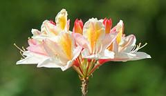 Azalea, Clyne Gardens Swansea (Lark Ascending) Tags: clyne clynegardens swansea wales uk flower plant flora peach apricot
