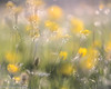 Meadow Medley (Mirrored-Images) Tags: backlighting bokeh buttercups flora flowers me meadows multipleexposure nature northyorkshire outdoor richmond wildflowers