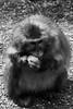 Mampf! (grundi1) Tags: sony alpha 68 ilca68 a68 kärnten carinthia landskron sigma1770f2845dcmacro black white schwarz weis japanmakaken macaca fuscata japanese macaque snow monkey blackandwhite sigma 1770 f2845
