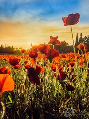 Champs de coquelicots (Olympus Passion eric leroy) Tags: coquelicots istres provence paca olympus omd em1 mk2 zuiko 714 grand angle