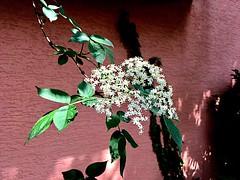 #SchwarzerHolunder #SambucusNigra (RenateEurope) Tags: schwarzerholunder sambucusnigra flora flowers wildsflowers primavera iphoneography renateeurope awesomeblossoms