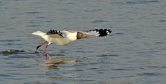 Brown-headed gull_Chroicocephalus brunnicephalus_Bhandup_April 2017 4 (Shubhada Nikharge) Tags: brownheadedgull chroicocephalusbrunnicephalus bird bhanduppumpingstation bhandup