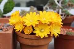 Rebutia marsoneri (S.Mt) Tags: succulentes succulents plantes grasses cactus fleurs flower echeveria aeonium oscularia rebutia grapto nature plants