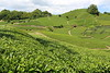 Japanese tea field (Teruhide Tomori) Tags: teafield kyoto japan wazuka japanesetea green leaves mountain hill landscape traditional field japon 日本茶 京都 茶畑 緑 日本 和束町 茶葉 風景 緑茶 greentea uji 宇治茶