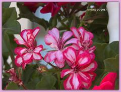 Almería. Alpujarras03 Gitanilla (ferlomu) Tags: almeria alpujarras andalucia ferlomu flor flower