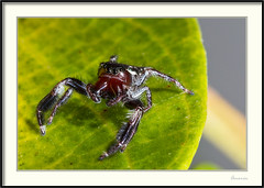 Araña saltadora - Jumping spider (J. Amorin) Tags: fauna insectos arañas arañasaltadora arañasaltarina jumpingspider amaorin macro spider