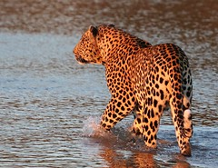Beautiful male leopard, bathed in the evening light. (avilacats) Tags: