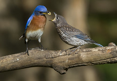 Eastern Bluebird, dad and juvenile (AllHarts) Tags: easternbluebirds backyardbirds memphistn nature naturesspirit thesunshinegroup sunrays5 naturescarousel ngc npc feathersbeaks