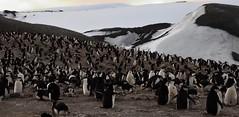 200,000 Chinstrap Penguins, Bailey Head, Antarctica (Scott Ableman) Tags: shetlandislands baileyhead chinstrappenguins chinstrappenguin chinstrap penguin nationalgeographicexpeditions lindbladexpeditions nationalgeographicorion antarctica