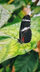 Doris Longwing (Mark.L.Sutherland) Tags: heliconiusdoris dorislongwing insect butterfly wings black blackwhiteandred leaf macro detail samsung smartphone androidography galaxys7 cellphone cameraphone phoneography marksutherland butterflyfarm mothernature beautiful delicate