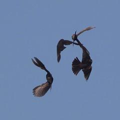 rwbl-f-sy-m-easterncimarronco-6-10-17-tl-02-cropscreen (pomarinejaeger) Tags: keyes oklahoma unitedstates bird redwingedblackbird agelaiusphoeniceus