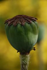 J'ai la tête qui tourne  . . . Toxiques HMM (nickylechatreux) Tags: pavot fleurs macro monday printemps