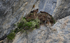 Couple d'aigles au nid (gil streichert) Tags: aigle royal aquilla aguila golden eagle nid ubaye