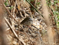 Ovenbird, Seiurus aurocapilla (bruce_aird) Tags: