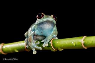 Ruby-eyed Tree Frog D75_7092.jpg