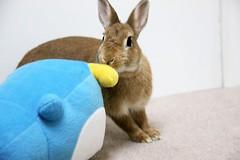 Ichigo san 737 (Ichigo Miyama) Tags: いちごさん。うさぎ ichigo san rabbitbunny netherlanddwarf brown ネザーランドドワーフ ペット いちご うさぎ rabbit