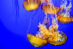 DSC_0140.jpg (hooch.photog) Tags: underwater water jellyfish fish nature blue sea ocean aquarium monterey california ca loverspoint canneryrow pebblebeach 17miledrive