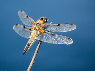 4 spot chaser dragon fly