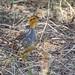 Coqui Francolin (Hubbard's) (Peliperdix coqui hubbardi), male