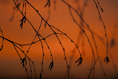 Birch tree with silhouetted limbs at sunset (Jim Corwin's PhotoStream) Tags: autumn backlit backgrounds baretree beautyinnature birchtree branches deciduoustree horizontal nature nobody outdoors patten patterns photography plant remote seasons selectivefocus solitude sunset sunsetlight tranquilsetting tranquility