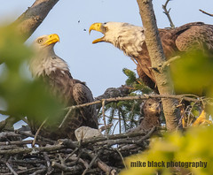 Bald Eagles and Eaglet NJ shore (Mike Black photography) Tags: bald eagle eaglet bird nature birding big year nj new jersey shore photo canon 5ds r 800mm lens body is usm l tree raptor nest sky mike black june summer 2017 watching hawk