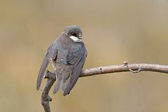 Tree swallow (Tachycineta bicolor), female (vladimirmorozov) Tags: sunrays5 treeswallow tachycinetabicolor