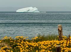 Iceberg & Dandelions (Karen_Chappell) Tags: iceberg blue yellow white ice ocean nfld newfoundland trinitybay dandelion atlanticcanada atlantic avalonpeninsula canada seascape landscape scenery scenic