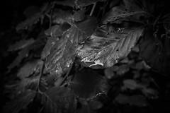 Droppsamlare (MagnusBengtsson) Tags: natur skäralid sommar söderåsen söderåsensnationalpark sverige skåne landskap fs170611 vattendroppar fotosondag