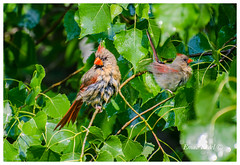 Cardinals (fadelemad324) Tags: animals bird beauty beautiful branches branch colors canada green nikon nature nik nikond7000 d7000 dslr digital cardinal